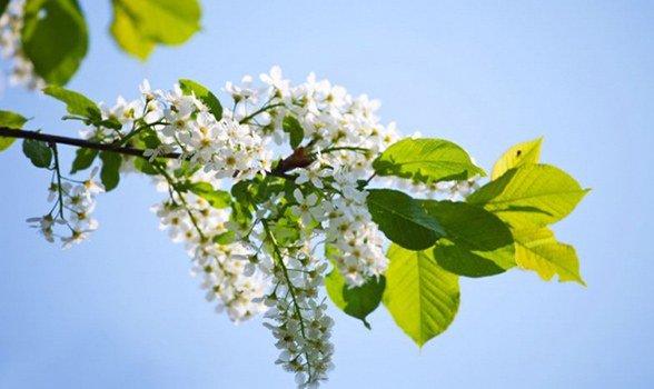 аллергия на черемуху