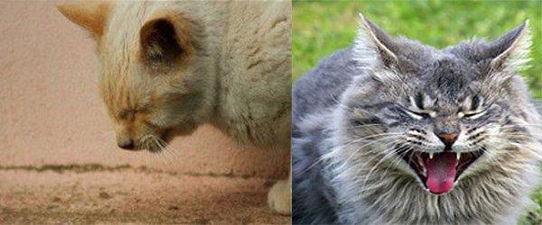 кашель, затрудненное дыхание у кошек