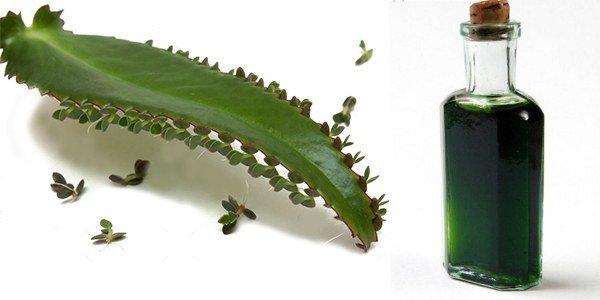 лечебная настойка, приготовленная из каланхоэ