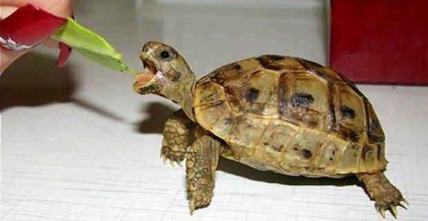 аллергия на черепаху