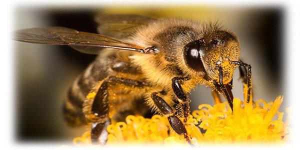 пчелы и их укусы