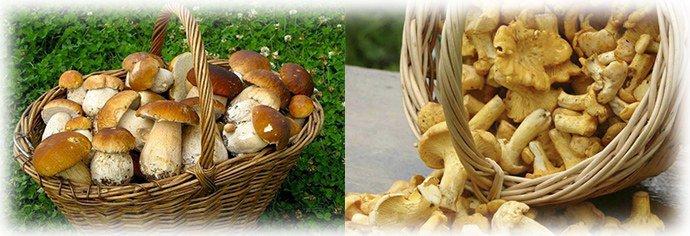 лисички и белые грибы