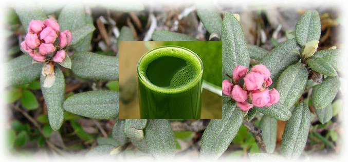 сок Rhododendron adamsii