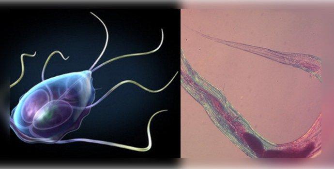 Лямблиоз и описторхоз