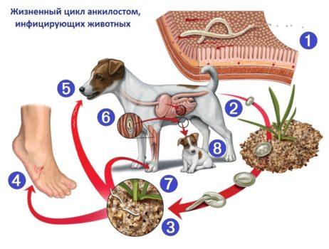 Жизненный цикл анкилостом, инфицирующих животных