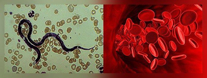 Филярии в общем кровотоке