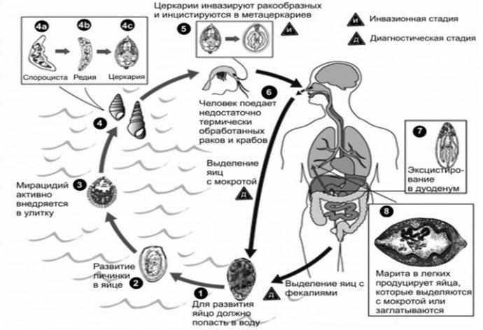 Жизненный цикл гельминта