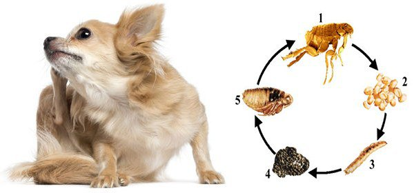 блошиный дерматит у собак