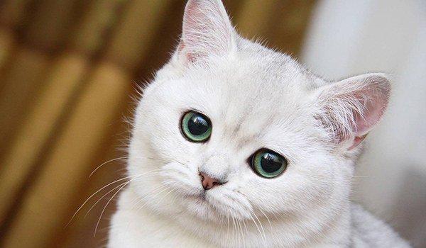 пиодермия у кошек
