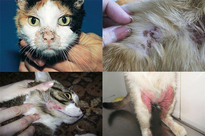проявление пиодермии у кошек