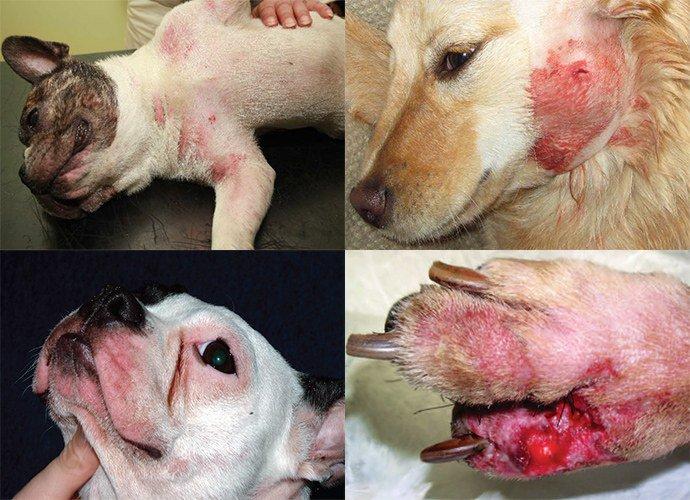 проявление пиодермии у собак