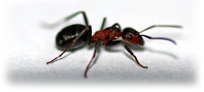 аллергия на муравьёв