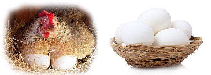 домашние яйца белого цвета