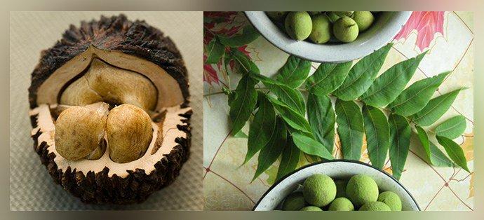 Плоды и листья черного ореха