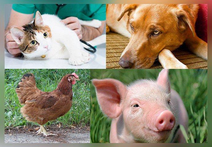 Аскаридоз у животных