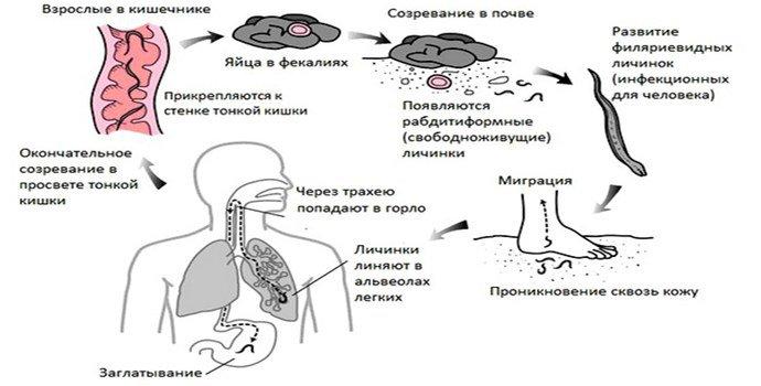 Стронгилоидоз жизненный цикл