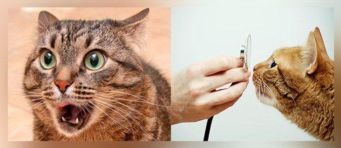 Кашель при токсокарозе у кошек