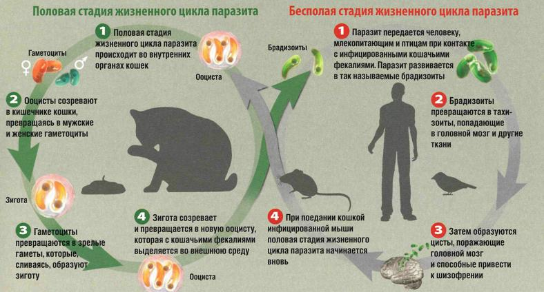 Цикл развития токсоплазмоза